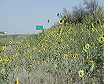 Wildflowers and Native Grasses